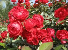 Приметы китайской розы