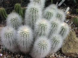 Цветение кактуса: приметы