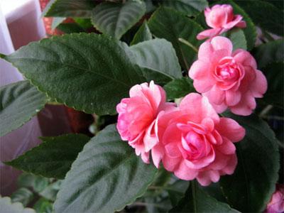 Цветок ванька мокрый: приметы