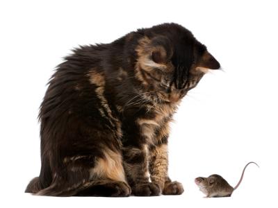 Мышь в квартире или доме примета