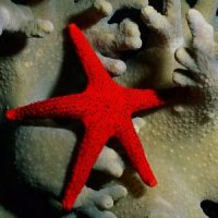 Талисман морская звезда