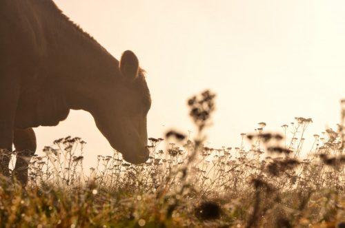 Корову можно защитить несложными способами