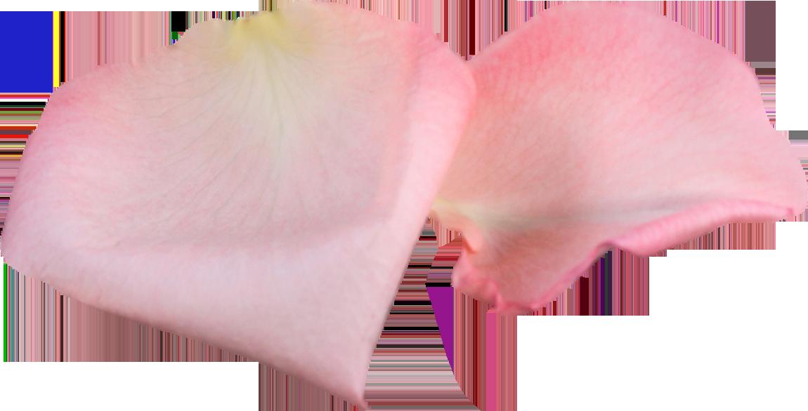 Онлайн гадание по лепесткам розы гадание