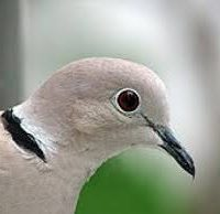 golub-na-okne-primeta-2