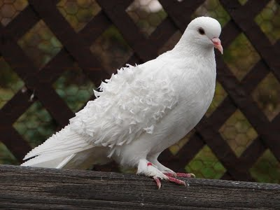 В окно залетел голубь примета