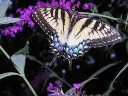 В дом залетела бабочка - примета