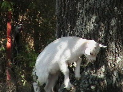 Гороскоп петух женщина коза мужчина