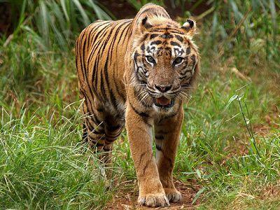 Тигром должен быть мужчина