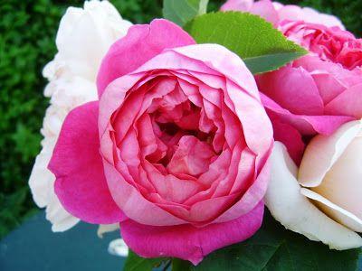 Гадание на лепестках роз