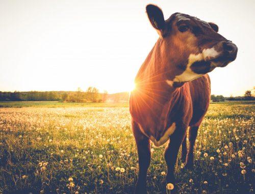 Способы снятия порчи и сглаза с коровы